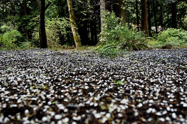 The ground looked like it was covered in snow when the trees dropped their flowers.