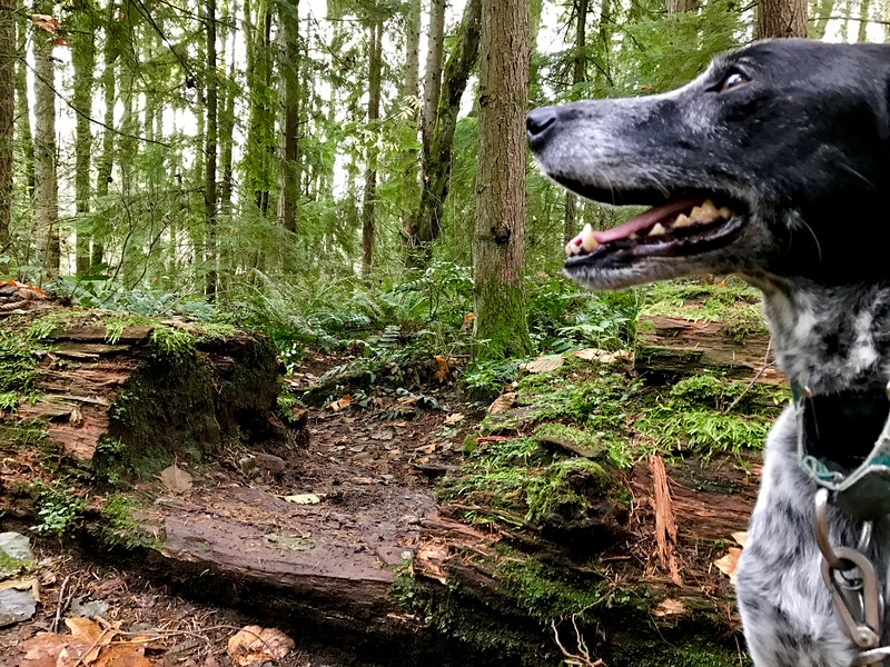 We then battled the insane traffic out to Bellevue to run some Cougar Mountain trails before our scramble to put an offer together.