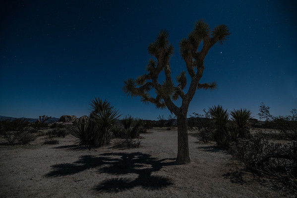 Moonlit Joshua Tree - Sigma 14-24 f2.8 ART DG HSM | A