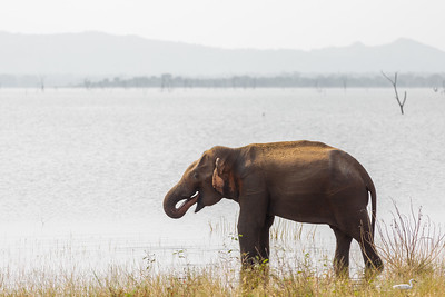 An elephant drinking in Sri Lanka