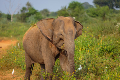 Elephant in Undwalawe National Park