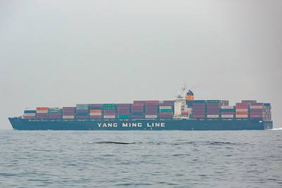Whale in a shipping lane