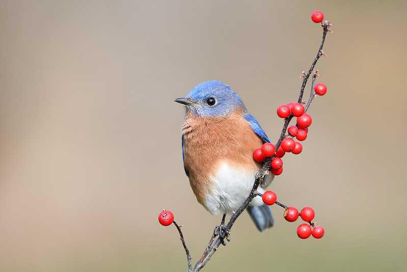 Bluebird on Berries