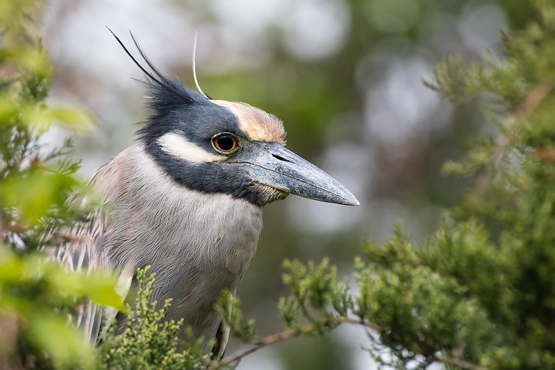 Night Heron Portrait