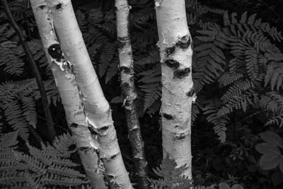 Birches and ferns