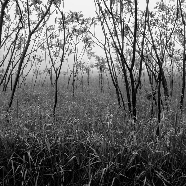 Sumac trees in the fog