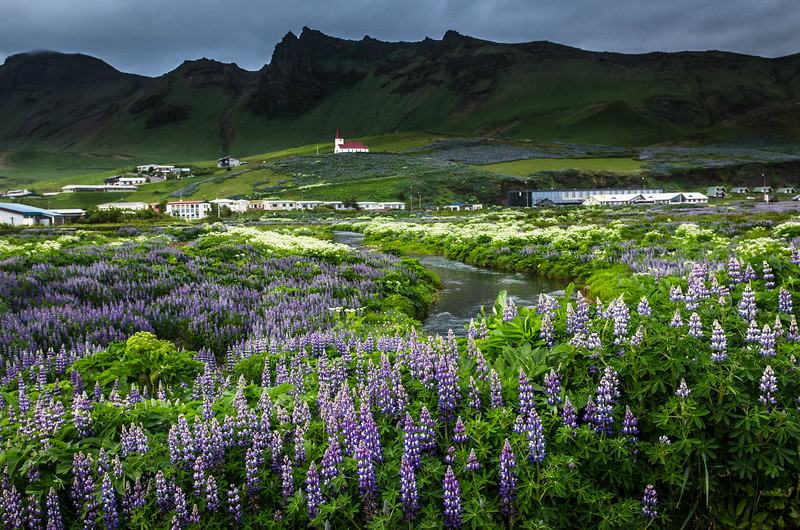 Lupine field in front of the village of Vik Iceland