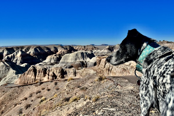 I took Winston on two short hikes in Petrified Forest. The first was Blue Mesa Trail.