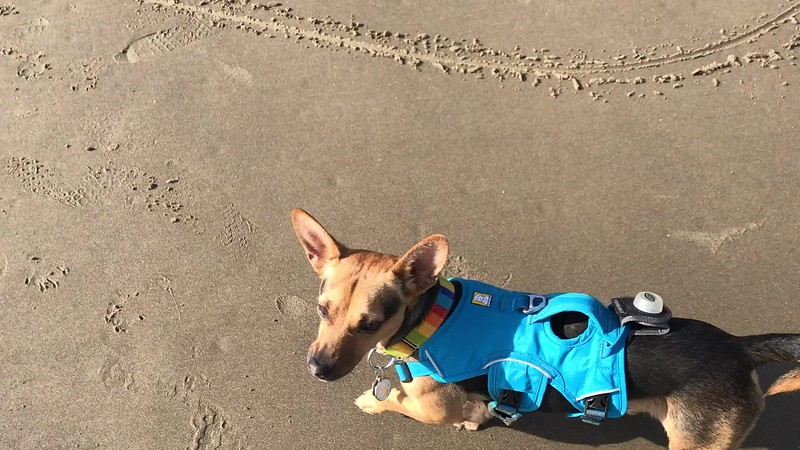 It was also his first time to a sandy beach. At least with us. He's between 1 and 2 years old, so who know what experiences he had before we brought him home. He's growing braver and more confident every week. When we first met him, he stood in place, just trembling.