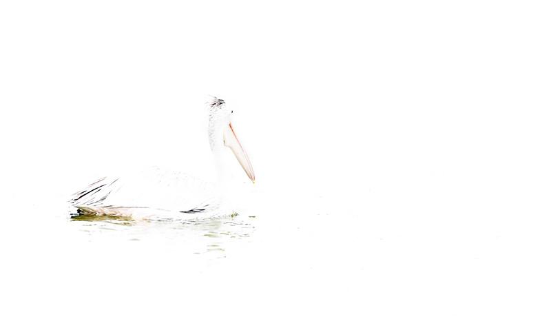 Pelican in Headlights