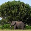 Cactus-Elephant