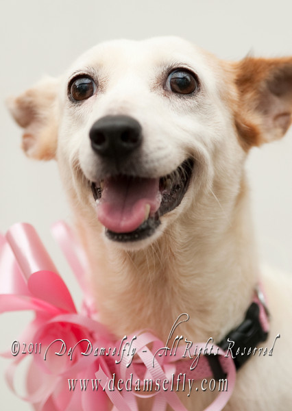 """SPARKY JRT, female, brown and white 7yrs old (very beautiful and active).<br /> <br /> If you can find it in your heart to open your home to one of these furkids (ADOPT OR FOSTER), please write in to vfasin@gmail.com if you are interested. Tell them a little about yourself and provide a contact number. Thank you.<br /> ~~~~~~~~~~~~~~~~~~~~~~~~~~<br /> Copyright © 2011 Colleen Goh<br /> <br /> <a href=""""http://www.facebook.com/DeDamselflyPhotography"""">http://www.facebook.com/DeDamselflyPhotography</a><br /> Being re-homed by VFA: <a href=""""http://www.facebook.com/VFASIN"""">http://www.facebook.com/VFASIN</a>"""