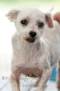 MISSY Maltese, Female, White, 8 yrs old.  If you can find it in your heart to open your home to one of these furkids (ADOPT OR FOSTER), please write in to vfasin@gmail.com if you are interested. Tell them a little about yourself and provide a contact number. Thank you. ~~~~~~~~~~~~~~~~~~~~~~~~~~ Copyright © 2011 Colleen Goh  http://www.facebook.com/DeDamselflyPhotography Being re-homed by VFA: http://www.facebook.com/VFASIN