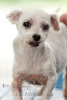 "MISSY Maltese, Female, White, 8 yrs old.<br /> <br /> If you can find it in your heart to open your home to one of these furkids (ADOPT OR FOSTER), please write in to vfasin@gmail.com if you are interested. Tell them a little about yourself and provide a contact number. Thank you.<br /> ~~~~~~~~~~~~~~~~~~~~~~~~~~<br /> Copyright © 2011 Colleen Goh<br /> <br /> <a href=""http://www.facebook.com/DeDamselflyPhotography"">http://www.facebook.com/DeDamselflyPhotography</a><br /> Being re-homed by VFA: <a href=""http://www.facebook.com/VFASIN"">http://www.facebook.com/VFASIN</a>"
