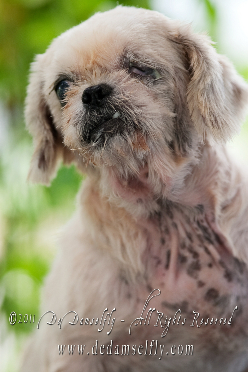 "EGGY Shih Tzu, female, Gold white, 5yrs old (spayed, one eye blind).<br /> <br /> If you can find it in your heart to open your home to one of these furkids (ADOPT OR FOSTER), please write in to vfasin@gmail.com if you are interested. Tell them a little about yourself and provide a contact number. Thank you.<br /> ~~~~~~~~~~~~~~~~~~~~~~~~~~<br /> Copyright © 2011 Colleen Goh<br /> <br /> <a href=""http://www.facebook.com/DeDamselflyPhotography"">http://www.facebook.com/DeDamselflyPhotography</a><br /> Being re-homed by VFA: <a href=""http://www.facebook.com/VFASIN"">http://www.facebook.com/VFASIN</a>"