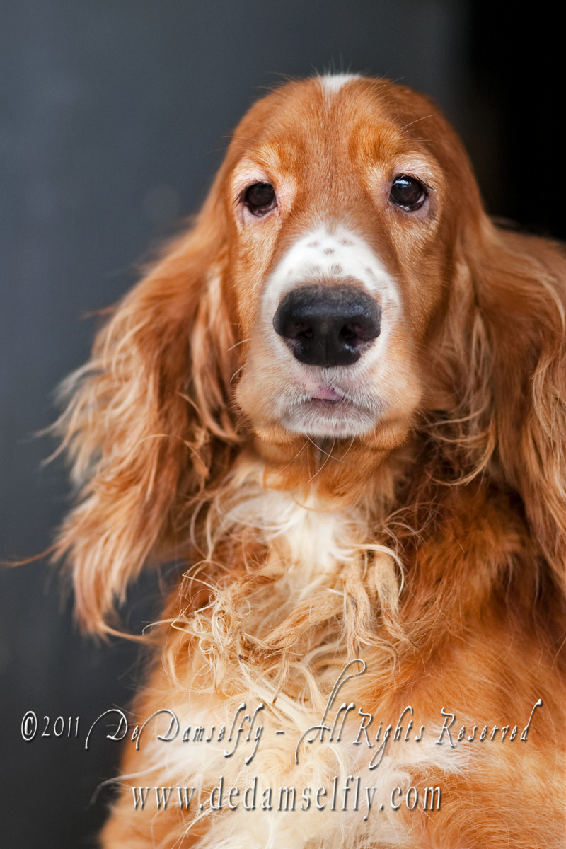 "WHISKEY English Cocker Spaniel Male, red, 1.5 yrs old. NOT HDB APPROVED.<br /> <br /> If you can find it in your heart to open your home to one of these furkids (ADOPT OR FOSTER), please write in to vfasin@gmail.com if you are interested. Tell them a little about yourself and provide a contact number. Thank you.<br /> ~~~~~~~~~~~~~~~~~~~~~~~~~~<br /> Copyright © 2011 Colleen Goh<br /> <br /> <a href=""http://www.facebook.com/DeDamselflyPhotography"">http://www.facebook.com/DeDamselflyPhotography</a><br /> Being re-homed by VFA: <a href=""http://www.facebook.com/VFASIN"">http://www.facebook.com/VFASIN</a>"