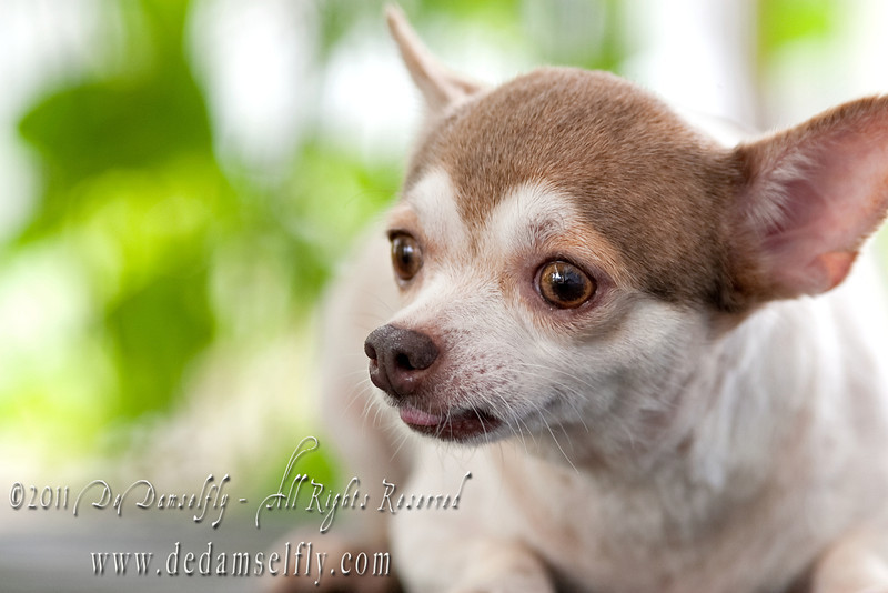 "UPDATE: CUPCAKE HAS BEEN ADOPTED!<br /> <br /> CUPCAKE chihuahua Female, gold white , short coat, 5yrs old (cute n fat chihuahua).<br /> <br /> If you can find it in your heart to open your home to one of these furkids (ADOPT OR FOSTER), please write in to vfasin@gmail.com if you are interested. Tell them a little about yourself and provide a contact number. Thank you.<br /> ~~~~~~~~~~~~~~~~~~~~~~~~~~<br /> Copyright © 2011 Colleen Goh<br /> <br /> <a href=""http://www.facebook.com/DeDamselflyPhotography"">http://www.facebook.com/DeDamselflyPhotography</a><br /> Being re-homed by VFA: <a href=""http://www.facebook.com/VFASIN"">http://www.facebook.com/VFASIN</a>"