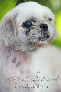 ELLA Shih tzu, female, gold white 5-6yrs (has a hernia)  If you can find it in your heart to open your home to one of these furkids (ADOPT OR FOSTER), please write in to vfasin@gmail.com if you are interested. Tell them a little about yourself and provide a contact number. Thank you. ~~~~~~~~~~~~~~~~~~~~~~~~~~ Copyright © 2011 Colleen Goh  http://www.facebook.com/DeDamselflyPhotography Being re-homed by VFA: http://www.facebook.com/VFASIN