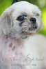 "ELLA Shih tzu, female, gold white 5-6yrs (has a hernia)<br /> <br /> If you can find it in your heart to open your home to one of these furkids (ADOPT OR FOSTER), please write in to vfasin@gmail.com if you are interested. Tell them a little about yourself and provide a contact number. Thank you.<br /> ~~~~~~~~~~~~~~~~~~~~~~~~~~<br /> Copyright © 2011 Colleen Goh<br /> <br /> <a href=""http://www.facebook.com/DeDamselflyPhotography"">http://www.facebook.com/DeDamselflyPhotography</a><br /> Being re-homed by VFA: <a href=""http://www.facebook.com/VFASIN"">http://www.facebook.com/VFASIN</a>"