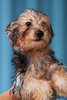 "TOBY Silky terrier, male, black tan, 5months<br /> (Hip Dysplasia on both side, require physio therapy, not suitable for first time owner)<br /> <br /> If you can find it in your heart to open your home to one of these furkids (ADOPT OR FOSTER), please write in to vfasin@gmail.com if you are interested. Tell them a little about yourself and provide a contact number. Thank you.<br /> ~~~~~~~~~~~~~~~~~~~~~~~~~~<br /> Copyright © 2011 Colleen Goh<br /> <br /> <a href=""http://www.facebook.com/DeDamselflyPhotography"">http://www.facebook.com/DeDamselflyPhotography</a><br /> Being re-homed by VFA: <a href=""http://www.facebook.com/VFASIN"">http://www.facebook.com/VFASIN</a>"