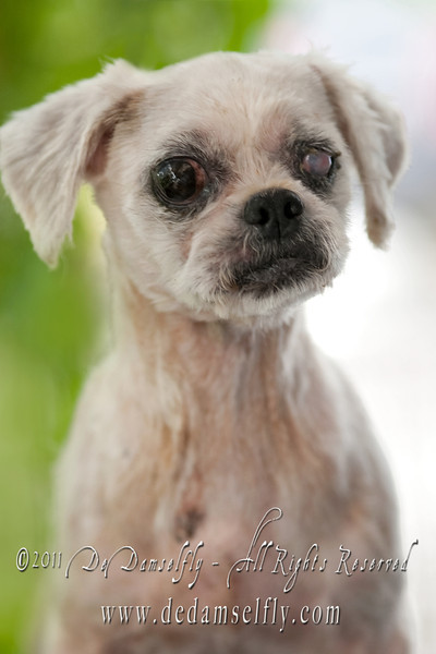 "PADDY Shih Tzu, Male, Gold white, 8 yrs old (one eye blind).<br /> <br /> If you can find it in your heart to open your home to one of these furkids (ADOPT OR FOSTER), please write in to vfasin@gmail.com if you are interested. Tell them a little about yourself and provide a contact number. Thank you.<br /> ~~~~~~~~~~~~~~~~~~~~~~~~~~~~~~~~~~<br /> Copyright © 2011 Colleen Goh<br />  <a href=""http://www.facebook.com/DeDamselflyPhotography"">http://www.facebook.com/DeDamselflyPhotography</a><br /> Being re-homed by VFA: <a href=""http://www.facebook.com/VFASIN"">http://www.facebook.com/VFASIN</a>"
