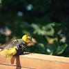 """June 21, 2016: At first, I was a little alarmed when I saw this juvenile oriole laying somewhat sideways on the back deck, but after a few moments of rolling around, she perked up and flew away. I think she was either sunning herself, or possibly trying to encourage some ants to """"come aboard"""" to have them eat any mites that she might have. Any thoughts or theories??"""