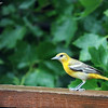 June 18, 2016: Female oriole on the back deck on a rainy afternoon.