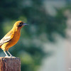 Aug. 16, 2016: Female Oriole on the back deck.