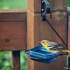 May 2, 2016: Female oriole at the grape jelly feeder.
