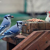 Nov. 23, 2016: The blue jays were especially feisty, this morning as they visited our back deck for their daily peanuts.