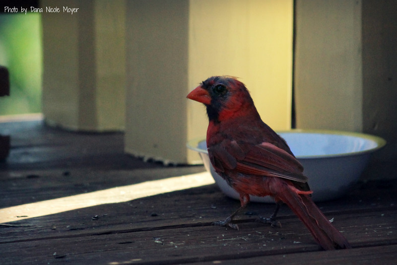 Aug. 17, 2016: The male cardinal seems to be going through a molting process. I've seen him lately trying to find food for a juvenile cardinal that's been following him around.