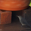 Sept. 17, 2016: I spotted this house wren on our back deck. I think it was looking for moths to eat.