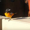 Aug. 19, 2016: I'm expecting the orioles to migrate out of our area any day now. I hate seeing them leave, but I know they are tropical birds and I don't think they would survive a winter here.