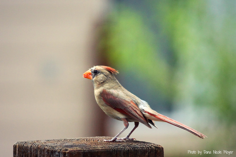 Aug .5, 2016: Female cardinal on our back deck.