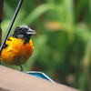 """June 18, 2016: We had heavy rain and thunderstorms all afternoon, but the orioles continued to come for their grape jelly. They've been taking it """"to go"""" so I believe they have young juveniles somewhere that they are feeding. This poor oriole looked soaked!"""