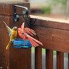 Aug. 5, 2016: A cardinal and a female oriole bicker back-and-forth at the grape jelly feeder.