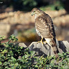 Nov. 17, 2016:  I saw this hawk in our backyard on an incredibly windy morning. He had his eye on a group of sparrows who live in the privet bush along our side fence. Thankfully, they saw him coming and took cover.