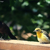 June 23, 2016: I noticed the juvenile oriole on our back deck, again. She started to do that weird thing where she leans from side-to-side, but then when a grackle showed up, she perked right up.