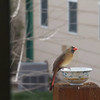 "Mar. 25, 2016: I always keep a little water dish out so the birds have fresh water available to them. I took this short video of a female cardinal getting a drink.<br /> <br /> If you have trouble viewing this video, you can watch it on YouTube:<br /> <br /> <a href=""https://youtu.be/RMcFzqwFMug"">https://youtu.be/RMcFzqwFMug</a>"