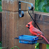 June 19, 2016: Cardinal at the grape jelly feeder.