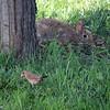 June 28, 2016: Bunny and female cardinal enjoying safflower seeds and weeds.