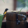 Aug. 14, 2016: The male oriole checks out our newest configuration on our back deck. Since we lost our big sycamore, we added two potting benches on the deck to help create shade for my container garden.