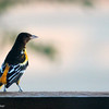 Aug. 10, 2016: Oriole on the deck at sunset.