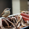 Dec. 25, 2016: A carolina wren on the back deck.
