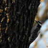 Nov. 25, 2016: Downey Woodpecker in Swanson Park.