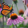June 20, 2016: Monarch butterfly in my butterfly garden.