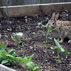 Apr. 23, 2016: Jason planted his garden, this morning. Tomatoes, bell peppers, sweet and hot peppers. In addition to that, we have onions, peas, radishes and squash growing. When Jason left in the evening to go fishing, I noticed this little bunny showed up and started mowing down some plants. I took this photo as he chomped down a rogue sunflower, but when it started heading towards Jason's radishes, I got up and chased him off.