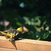 "June 21, 2016: At first, I was a little alarmed when I saw this juvenile oriole laying somewhat sideways on the back deck, but after a few moments of rolling around, she perked up and flew away. I think she was either sunning herself, or possibly trying to encourage some ants to ""come aboard"" to have them eat any mites that she might have. Any thoughts or theories??"
