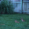 June 27, 2016: Jason & I had been taking pictures in our front yard, and as we were on our way back in, we froze when we saw three bunnies huddled up in our backyard. They didn't move, and I used the opportunity to take a few quick pictures. It was so dark, that we could barely see them...but I had my camera set to a long exposure, which helped lighten the scene. The orange streaks that you see are fireflies.