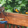 June 18, 2016: Two, possibly three, male orioles at the jelly feeder. (The one on the feeder is lighter in color, but could possibly be a mix between a Baltimore Oriole and a Bullock's Oriole).